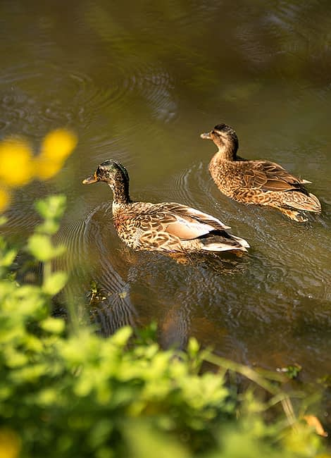The Giscours ducks in their natural habitat